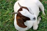 One of our Boer goats
