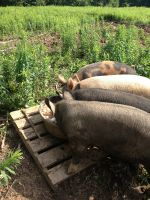 Pigs enjoying breakfast