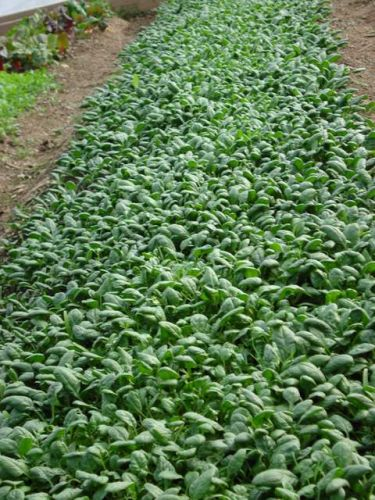 Spinach in winter