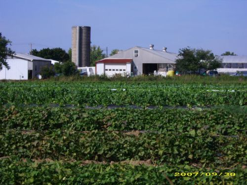 Sweet potatoes in the foreground