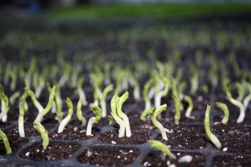 Pea shoots popping from the dirt