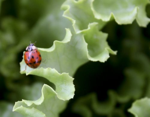 Little lady bugs might find it all the way to your house on a head of lettuce! :-)