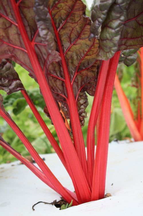 Red Chard