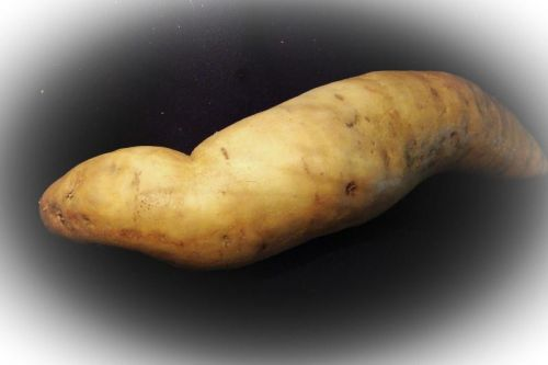 White Hamon Sweet Potato