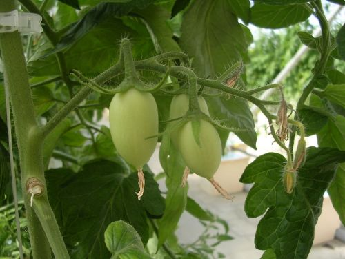 Hydroponic Roma Tomatoes in Late April