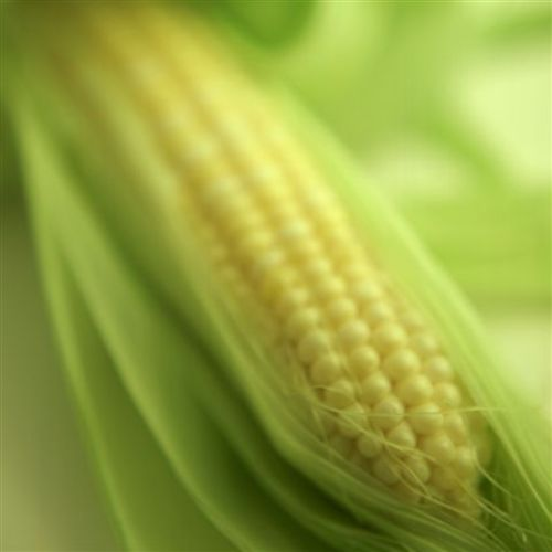 Michigan Sweet Corn