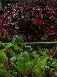bull's blood beets and Swiss chard at Goose Creek Gardens