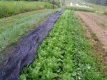 beds of lettuce at Silver Wheel Farm