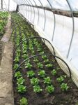 lettuces in a hoop house at Silver Wheel Farm