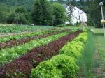 Beds of vegetables at Golden Harvest Farm