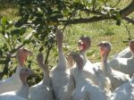 Thanksgiving turkeys- Clarion River