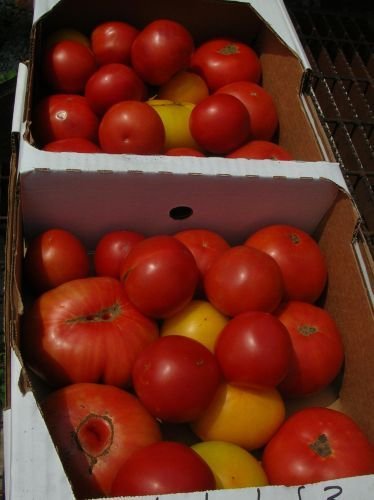 Heirloom tomatoes headed to a restaurant