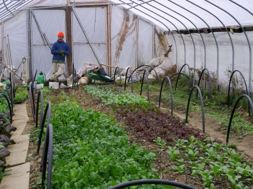 Ben admires the greens in his high tunnel at Silver Wheel Farm
