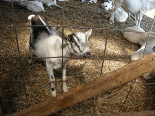 Riverview Dairy goats