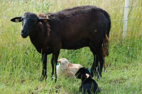 Our one black ewe and her twins