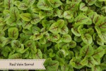 Red Vein Sorrel Microgreen. An added mild citrus flavor that adds a pop of color to your meals