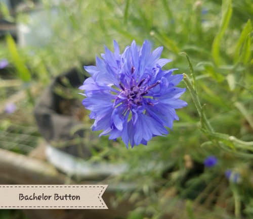 Bachelor Button Flower