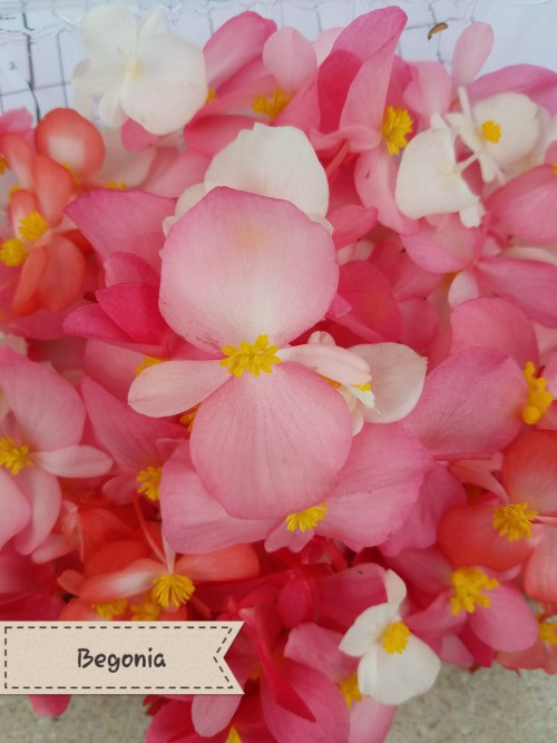Begonia Flowers. Take your favorite Green Apple and make it into a flower