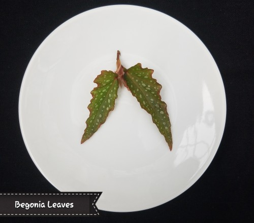 Edible Angel Wing Begonia Leaves