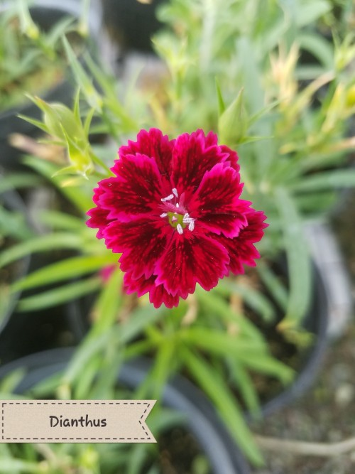 Dianthus. Also known as carnations or pinks, mixed colors of purple, pink, white, and dark red, use single petals as garnish, approximately 5-15 petals on each flower, petals impart no flavor to dish