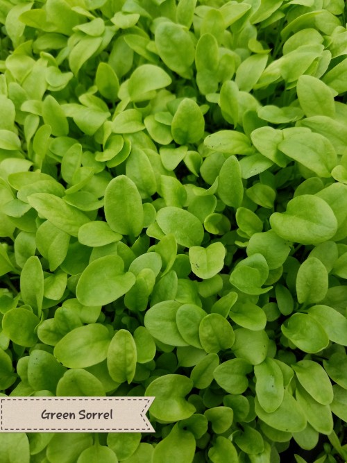 Green Sorrel Microgreen. A citrusy extravaganza of flavor