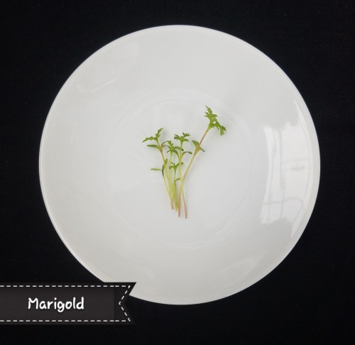 Marigold Microgreen. A bright, citrusy flavor