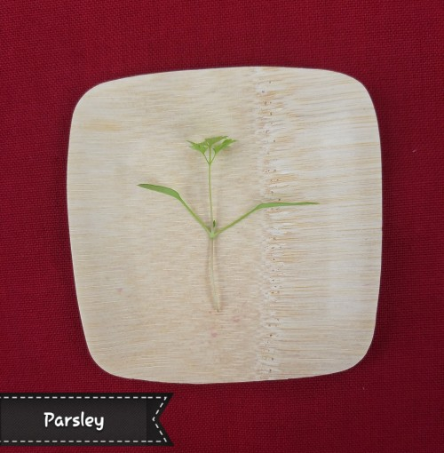 Parsley Microgreen. Verdant herbaceous flavor