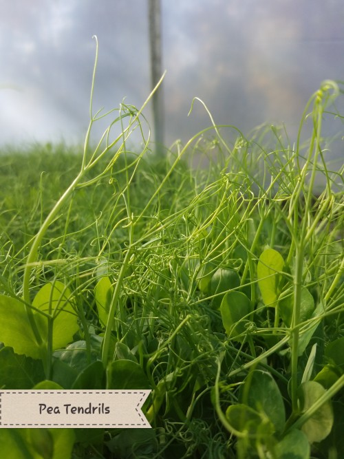 Pea Tendrils. A perfect pea flavor to decorate your plates