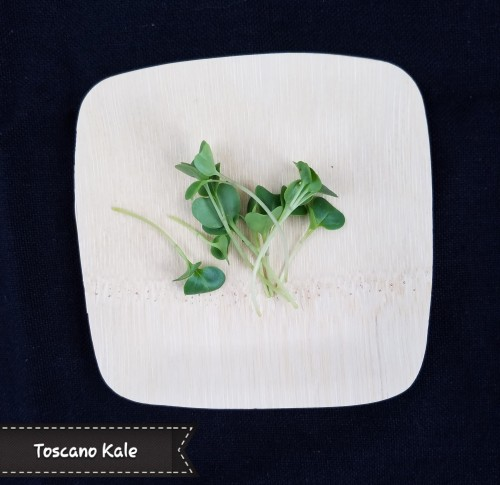 Toscano Kale Microgreen. A scrumptious pop of kale flavor. Dark green leaves; also known as Dinosaur or Lacinato Kale