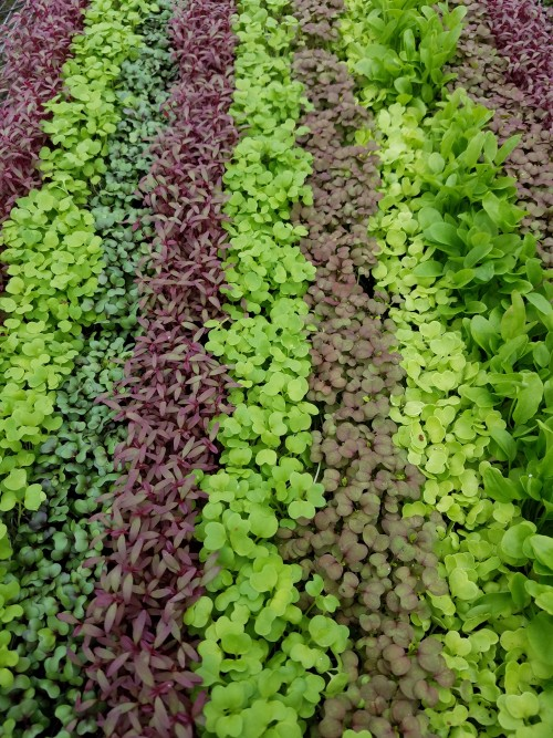 Beautiful mixed flat of microgreens
