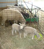 Lambs in the creep feeder