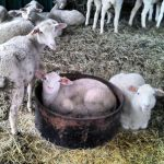 Lambs always in the tubs!