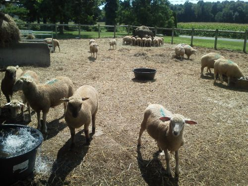 Sheep on dry lot