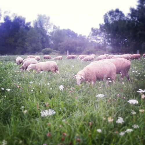 Sheep graze on new pasture