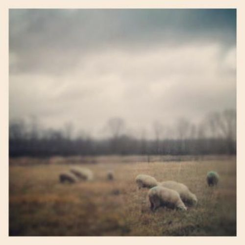 Sheep on December Pasture