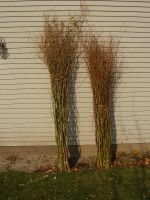 Green Curly Willow : Tall and Medium grades bundle sizes