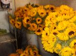 Sunflowers for Chicago wedding, 600 stems, shot of some in cooler