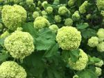 Snowball Viburnum - April / May availabilty