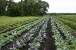 rows of cabbage and broccoli