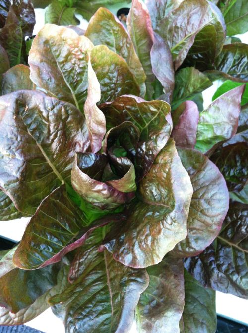 Rouge d' Hiver (Red Romaine)