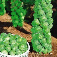 Bitsy Brussel Sprout  - Jade Cross