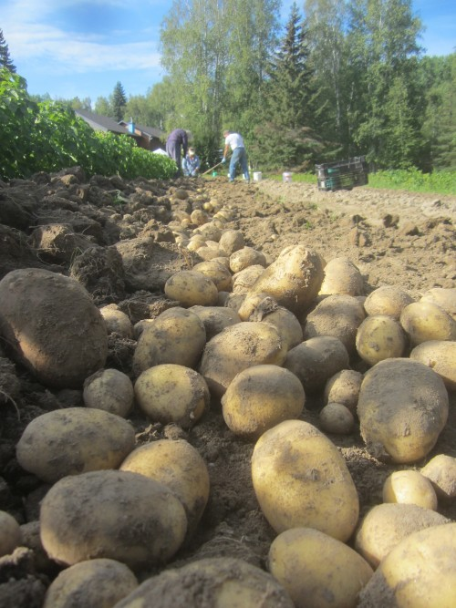 Spuds...on the way to your plate.