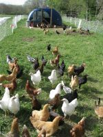 our flock of laying hens