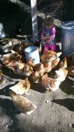 Amelia feeds the chickens