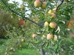 Goldrush in the Orchard