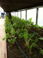 Swiss Chard in Greenhouse