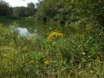 Goldenrod by the pond