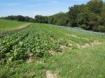 Fall Beet & Carrot Field