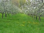 Orchard Row of Bloom