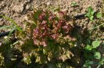 Vulcan Red Leaf Lettuce